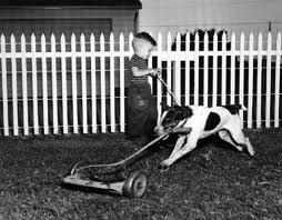 dog mowing lawn
